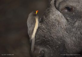 Yellow-billed Oxpecker and African buffalo stare-off, South Africa.
