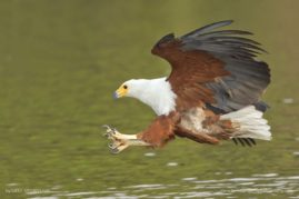African Fish-Eagel on the hunt, Chobe river, Botswana