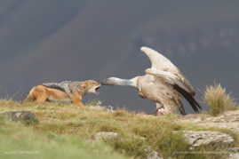 Cape Vulture pinching a Black-backed Jackal, Drakensberg, South