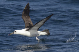 Yellow-nosed Albatross, Cape Town, South Africa