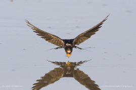 European/ Barn Swallow drinking on the wing, Etosha National Park, Namibia
