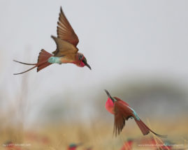 Breeding Carmine Bee-eaters, Zambesi River, Botswana