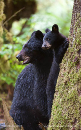 Black Bear Mama and Cub
