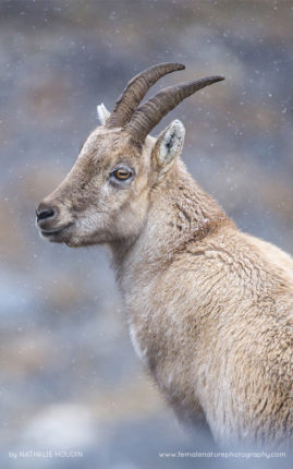 Ibex female