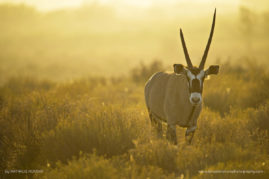 Oryx - South Africa