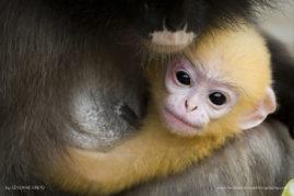 Baby of Dusky Leaf Monkey, Thailand