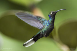 Humming bird, Costa Rica