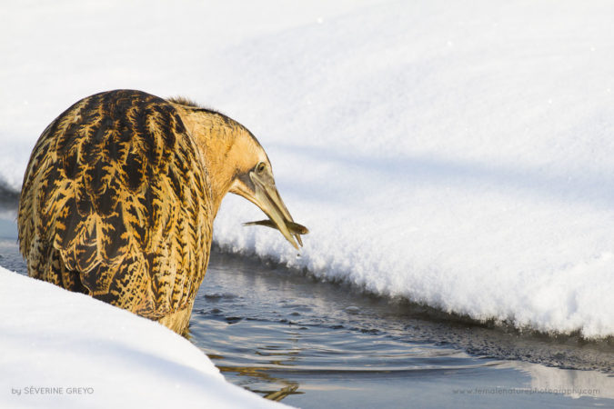Bittern fishing during winter, Switzerland
