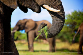 An African Elephant makes short work of this thorny meal.  South Africa