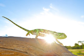 A Flap-necked Chameleon framed by the setting sun, South Africa.
