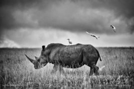 A female White Rhino becomes the landing platform for three cattle egrets, South Africa.