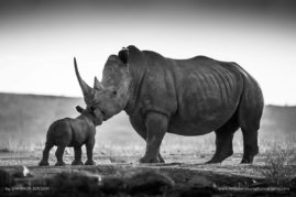 A two week old White Rhino kisses its mother before bounding off for more exploring, South Africa.
