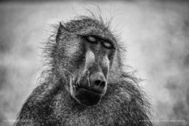 A seemingly pensive baboon wears the scars of a fierce battle on his aging face.  Zimbabwe