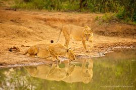 Two lioness quench their thirst as tiny new life grows within their distended bellies, South Africa