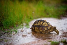A leopard tortoise braves the summer rains seeking shelter, South Africa.