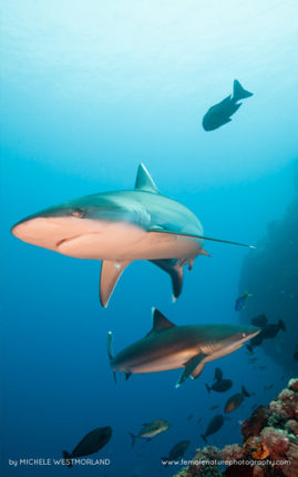 Silver-tip shark (Carcharhinus albimarginatus) hunting over reef system.  Papua New Guinea