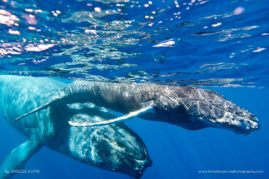 Female humpback whale (Megaptera novaeangliae) and her calf in the waters of La Reunion Island