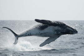 Humpback whale (Megaptera novaeangliae) breaching in the waters off New Zealand