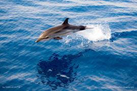 Striped dolphin (Stenella coeruleoalba) in the Mediterranean sea