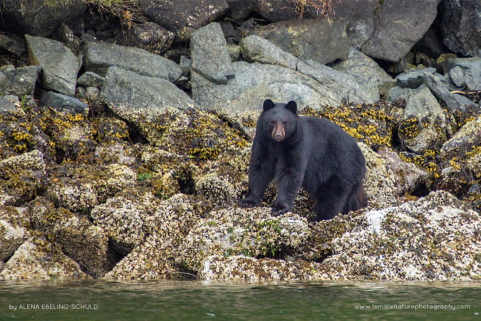 """Great Bear Black Bear"" - An American Black Bear (Ursus americanus) foraging for food in Heiltsuk Territory, Great Bear Rainforest."