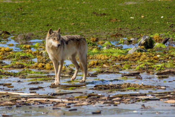 """Wolf Beach Encounter"" - A majestic Coastal Grey Wolf (Canis lupus) scavenging at low tide on a beach in the Great Bear Rainforest."
