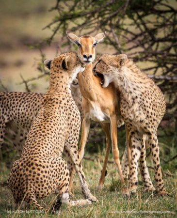 The Stranglehold - Masai Mara - Kenya