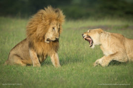 The Argument - Masai Mara - Kenya
