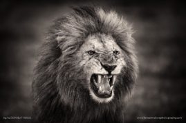 Snarling King - Masai Mara, Kenya