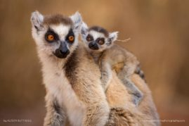 Ring Tailed Lemur - Berenty - Madagascar