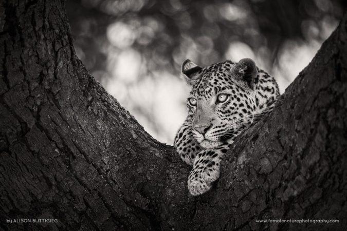 Pondering-Leopard-Masai-Mara-Kenya