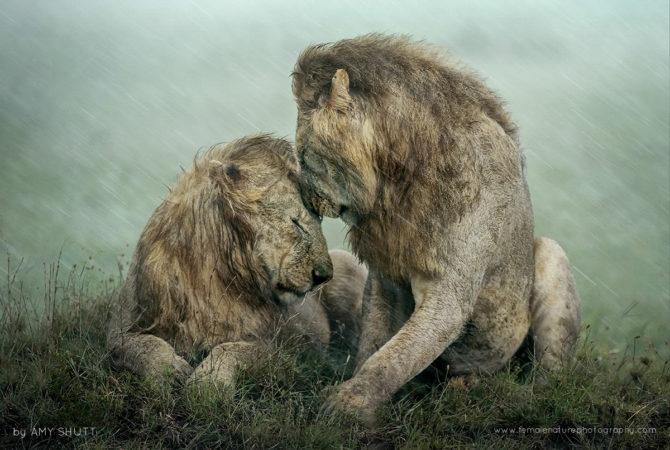 Brothers - African Lions, Maasai Mara, Africa