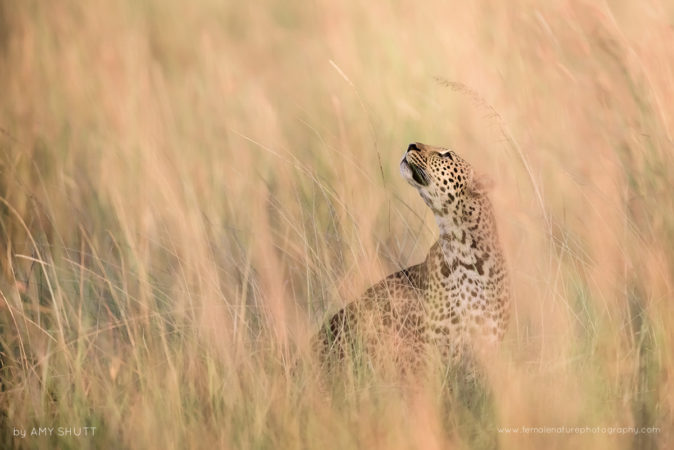 Chasing Rainbows - Leopard, Maasai Mara, Africa