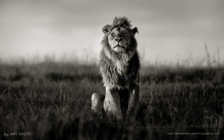 The Nomad - African Lion, Maasai Mara, Africa
