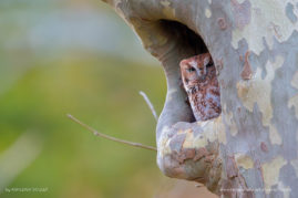 Rufous Morph Eastern Screech Owl in Morristown, NJ
