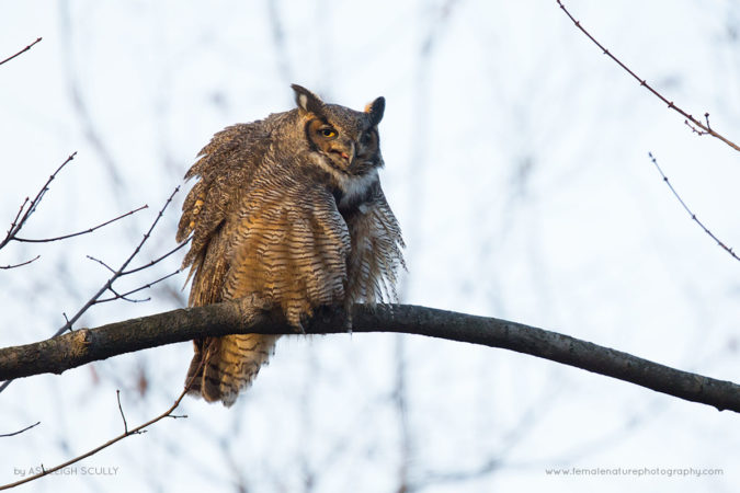 Great Horned Owl at the Great Swamp National Wildlife Refuge, NJ