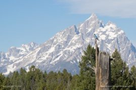 Mountain Blue Bird in Front of the Teton Range, Grand Teton National Park, WY