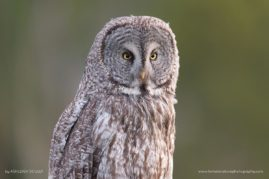 Great Gray Owl Portrait in Grand Teton National Park, WY