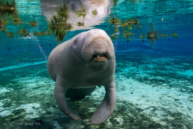 A Florida manatee comes into the spring to rest during cooler temperatures
