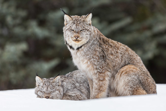 A wild female lynx and her kitten photographed in the Canadian Rockies
