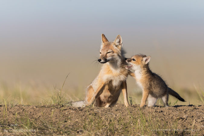 A swift fox vixen and one of her pups share a tender moment in the Canadian Prairies