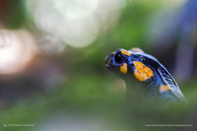 Shooting at the feet of a salamander