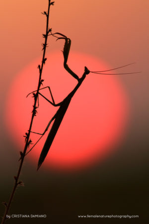 Mantis in the setting sun