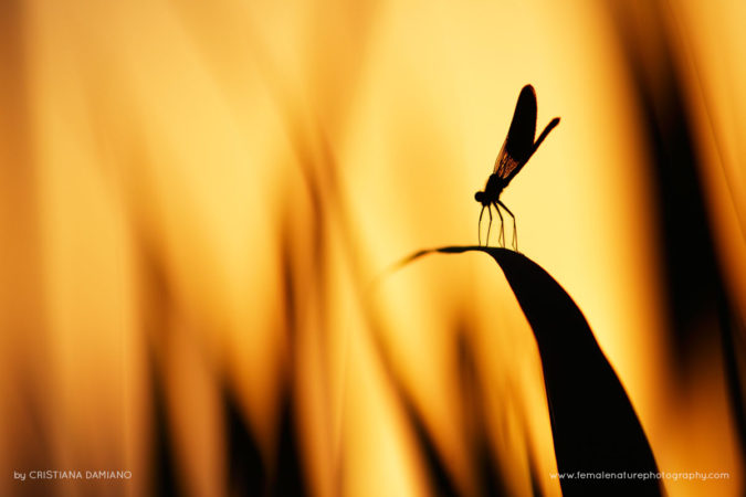 Damselfly in the burning flames of sunset