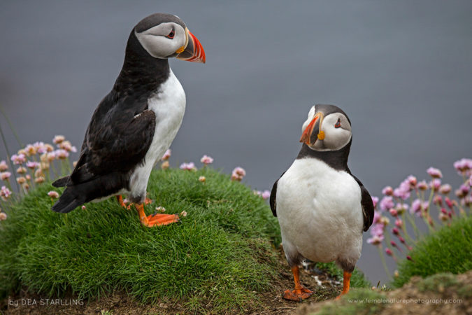 A couple of Atlantic puffins going out of the burrow.