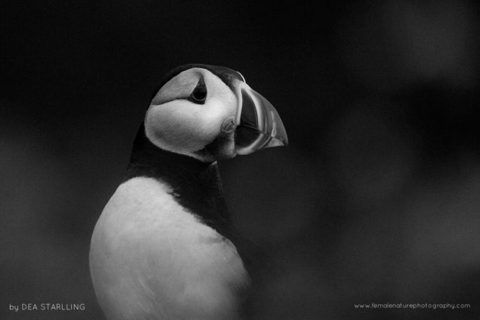 End of the afternoon in Skomer Island, Wales. This puffin was going to its burrow after a long day flying around to fish