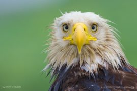 Bald Eagle, Dutch Harbor, Alaska