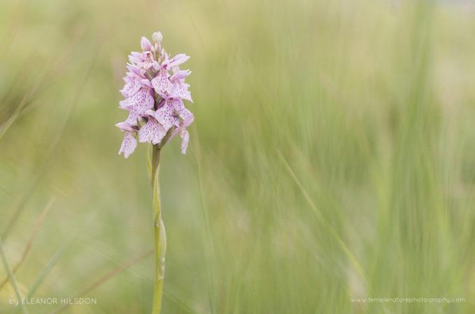 Heath Spotted Orchid - Dactylorhiza maculata Codden Hill, Devon, United Kingdom