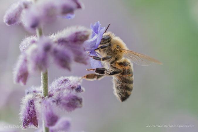 Honey Bee - Apis mellifera Devon, United Kingdom