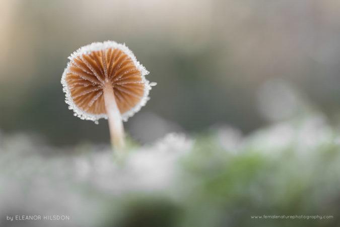 Scurfy Twiglet - Tubaria furfuracea Devon, United Kingdom