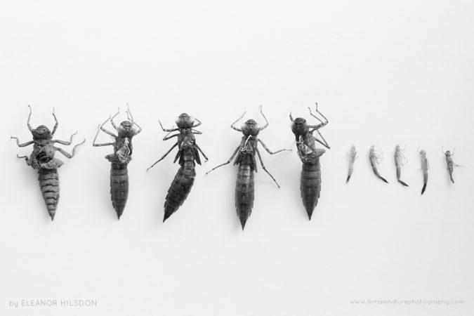 Dragonfly Exuvias Devon, United Kingdom